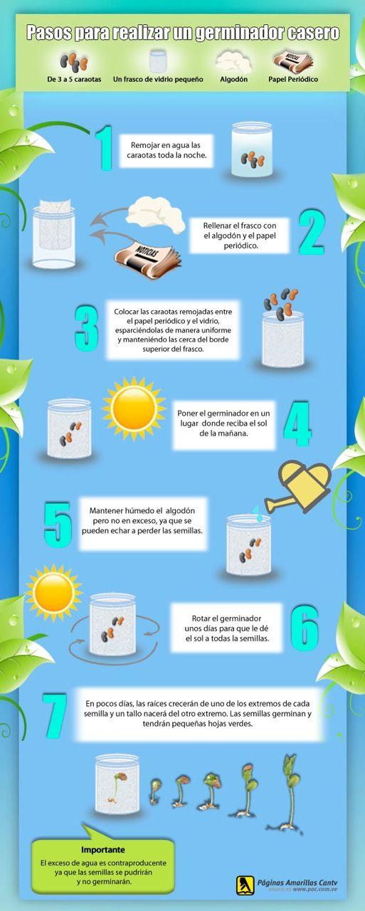 como hacer un germinador de caraotas para niños