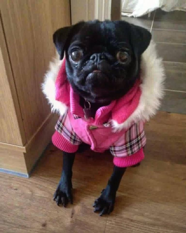 Urban Pup Highland Coat Available At Www Ilovepugs Co Uk Sizes S