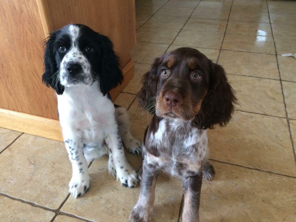 English Setter Or Welsh Springer Spaniel Springer Spaniel Puppies Springer Spaniel Dog Supplies