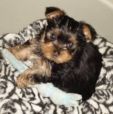 Adorable Tiny Yorkshire Chihuahua Chorkie Puppies 11 Wks