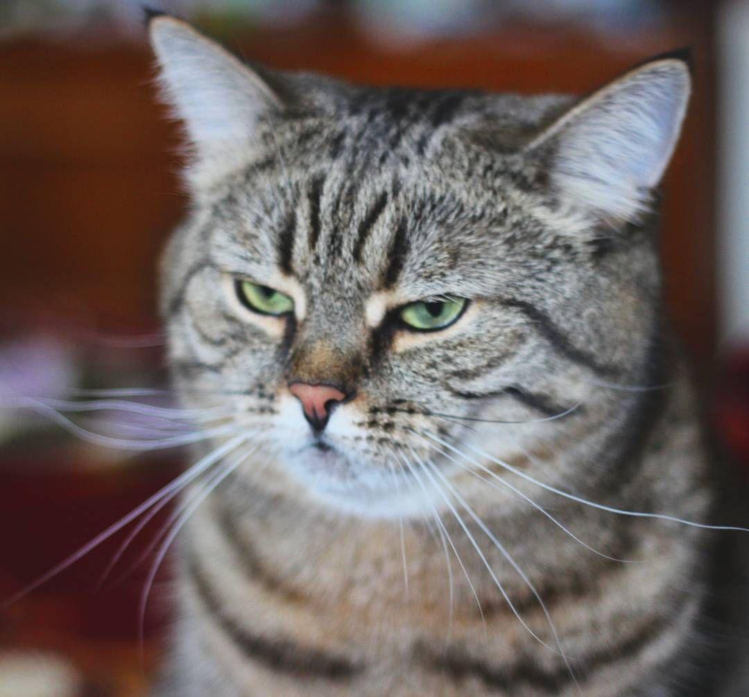 «#dissatisfaction #dashka_the_cat #pet #gelios #cat #cats #topcatphoto #topcat #meowbox #100catdays #catsofworld #catoftheday #meowbox #petlove #lifestyle…»