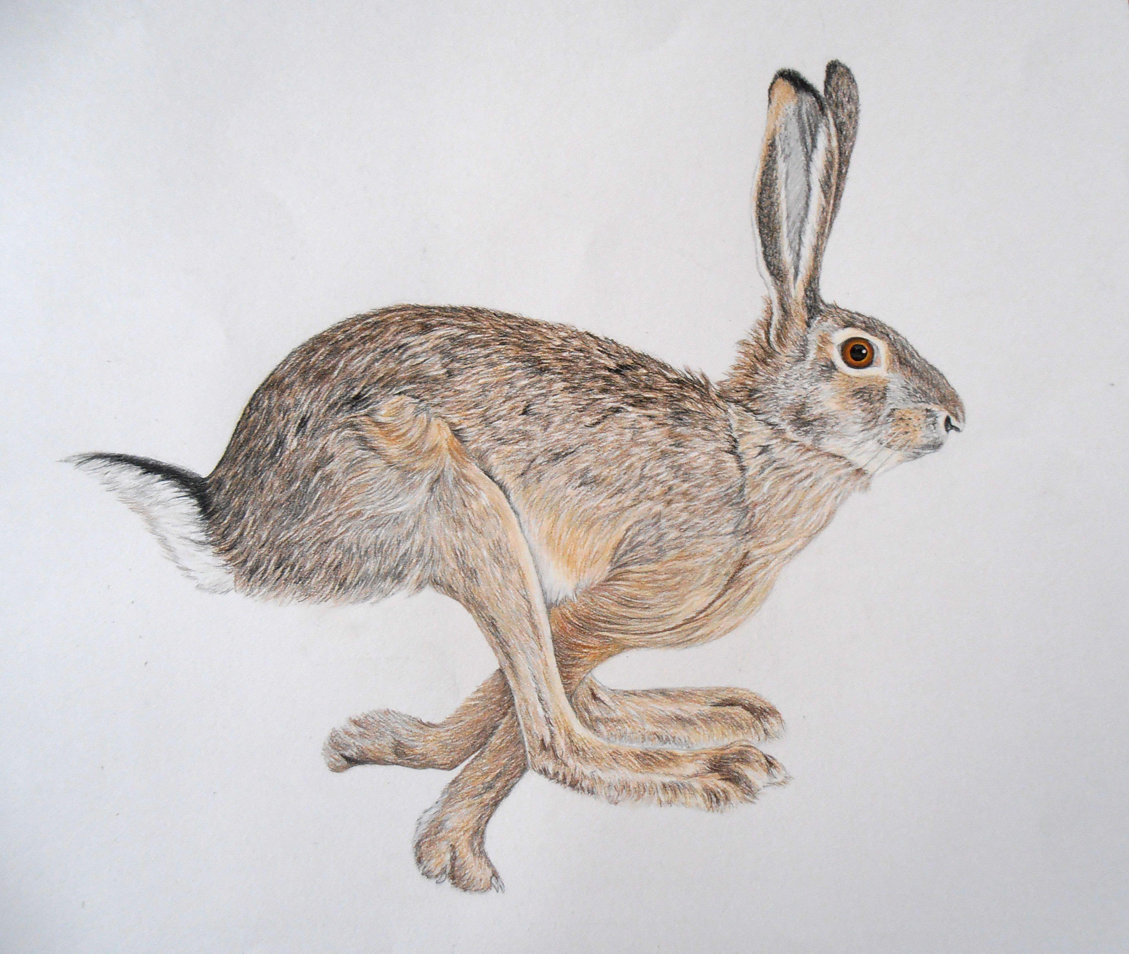 Lievre Alicia Penicaud Illustrations Art Animalier Illustrations Illustration