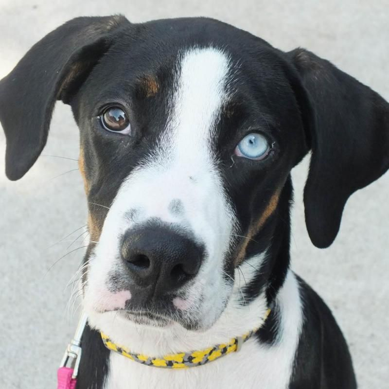 Solveig is an adoptable Catahoula Leopard Dog searching for a forever family near Minneapolis, MN. Use Petfinder to find adoptable pets in your area.