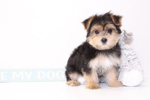 Morkie puppy for sale in NAPLES, FL  ADN-33466 on