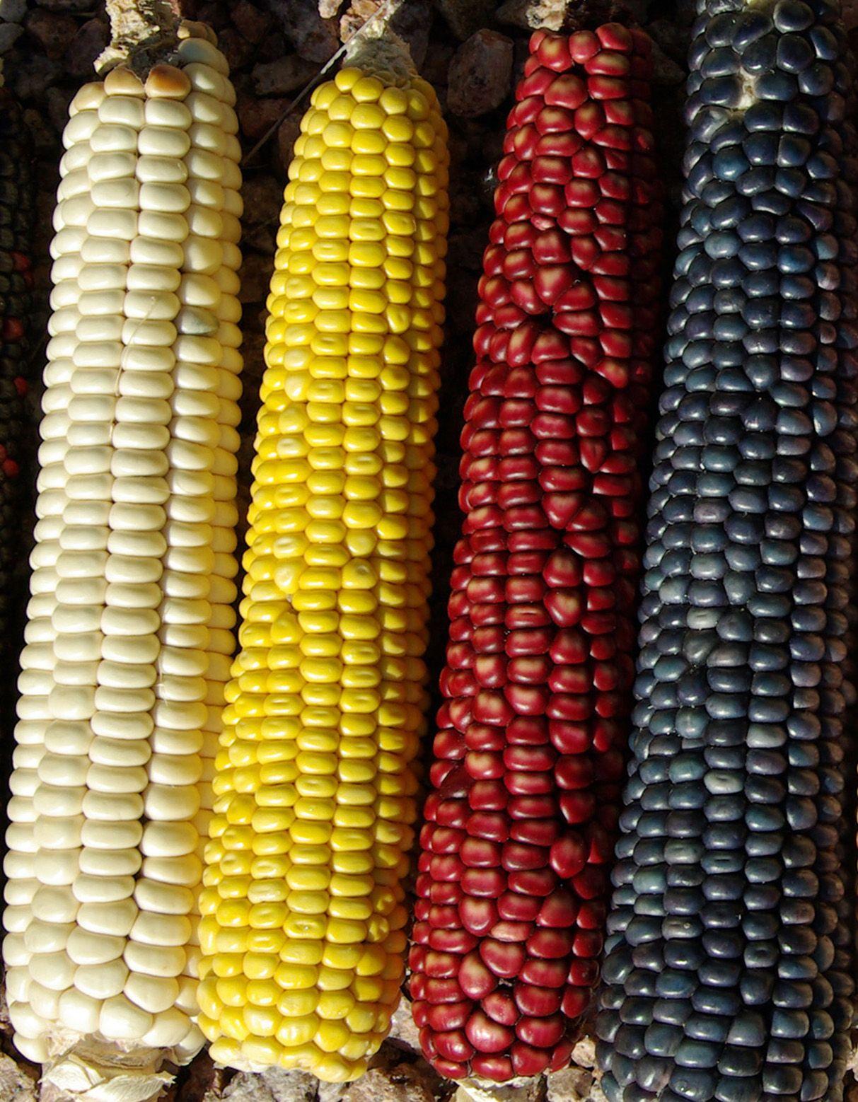 Hopi Corn #cricut Southwest inspiration   Native american ...