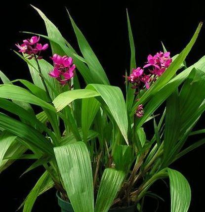 tipos de orquideas terrestres - Pesquisa Google