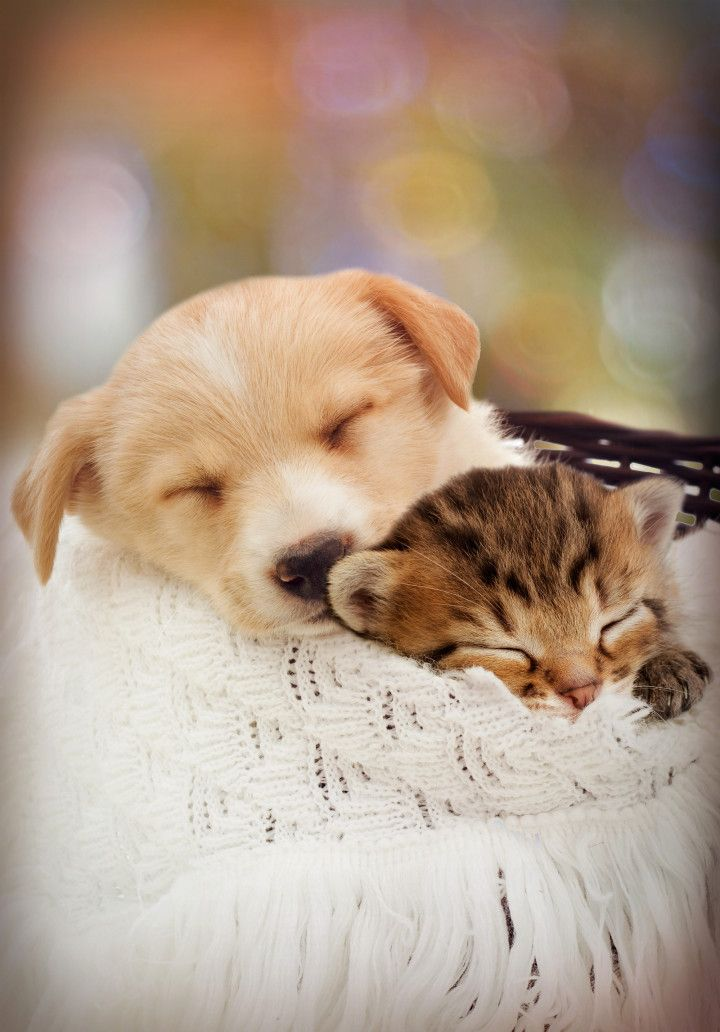 Puppy And Kitten Are Sleeping Puppies Fur Baby Cat Pets