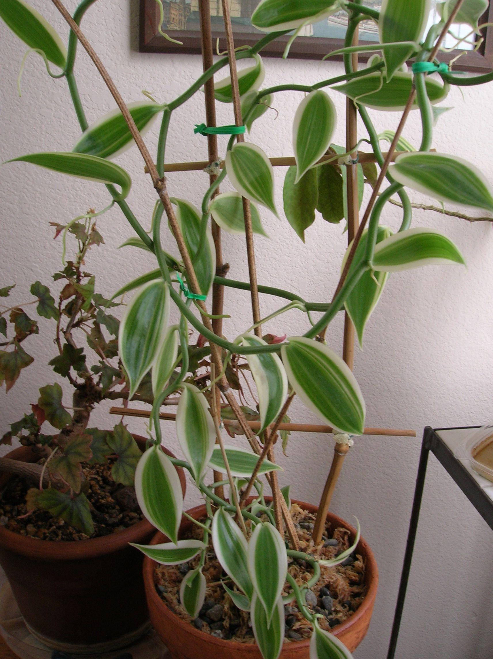 Vanilla Planifolia Variegata Baunilha Planta Orquidea