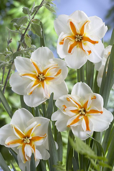 Daffodil Narcissus Sp Trepolo Variety Art Print By Visionspictures