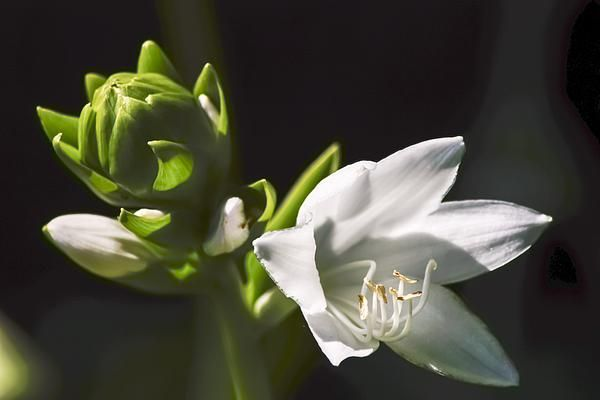 Close-up White Hosta by Cynthia Woods