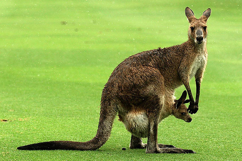 Kangaroo Kangaroo, Australia animals, Animals
