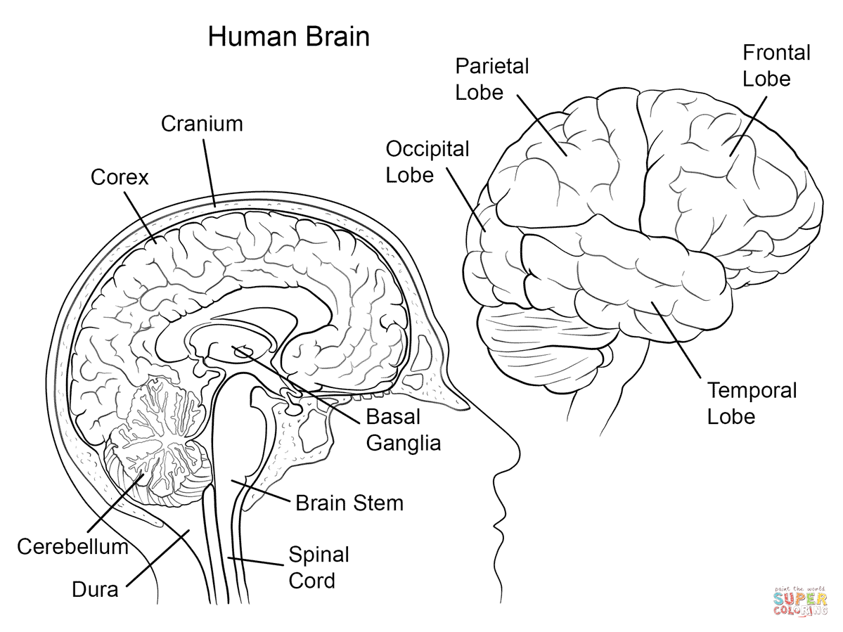 Human Brain Anatomy coloring page from Anatomy category