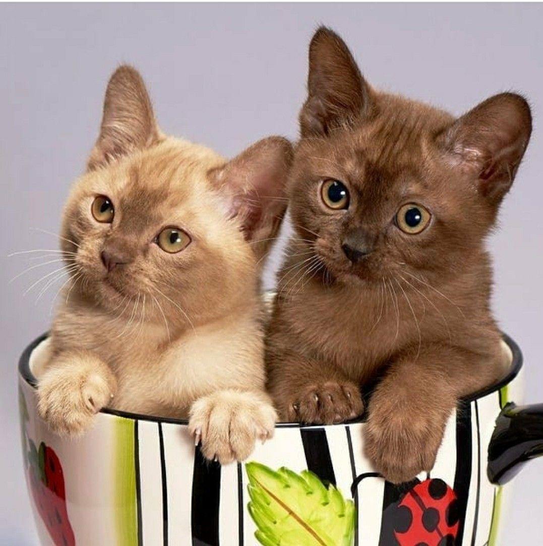 Pin By Svetik On Koshki In 2020 Kittens Cutest Teacup Cats Cute Animals