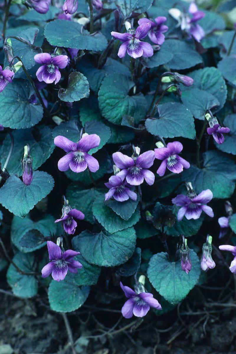Viola labradorica 'purpurea' (Labrador or American Dog
