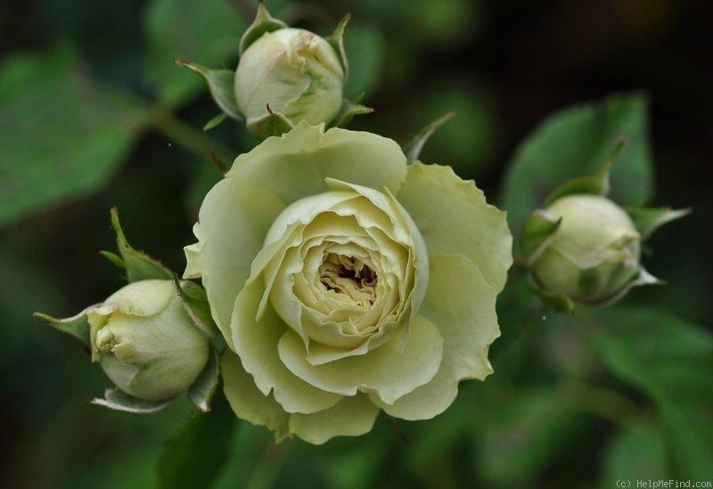 'Lovely Green ' Rose Photo