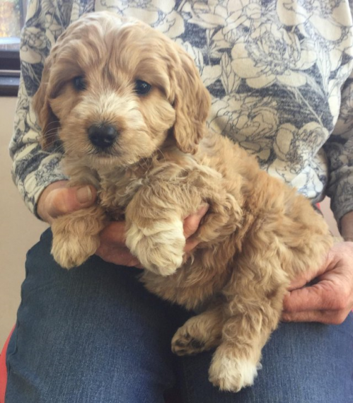 Female Cockerpoo For Sale In Essex Colchester Essex Pets4homes Cockapoo Puppies Puppies And Kitties Puppies