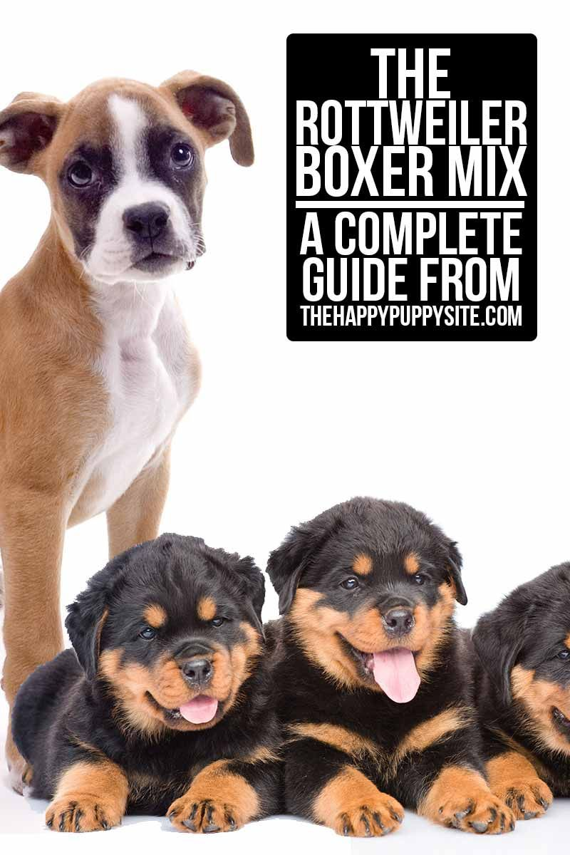 Rottweiler Boxer Mix Your Guide To The Boxweiler Rottweiler