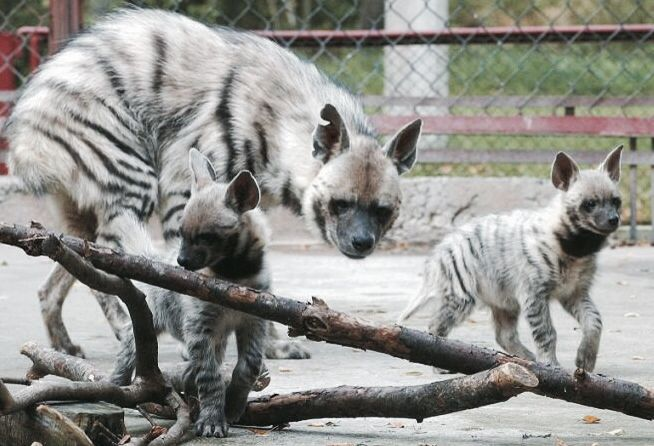 The Striped Hyena Is Monogamous With Both Males And -6229