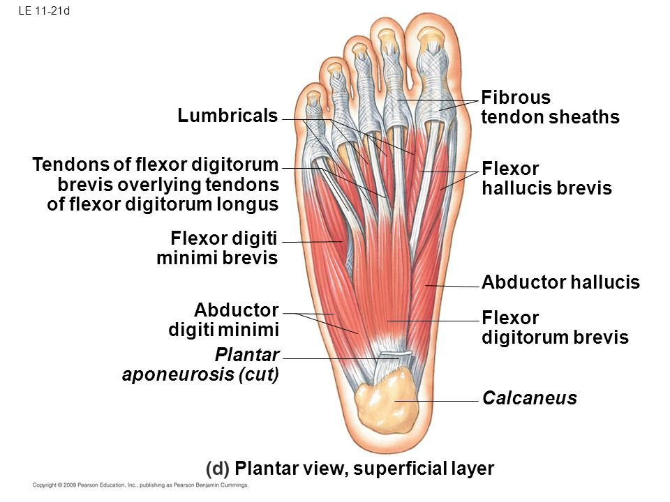 Image Result For Tendons Of Flexor Digitorum Longus Plantar View