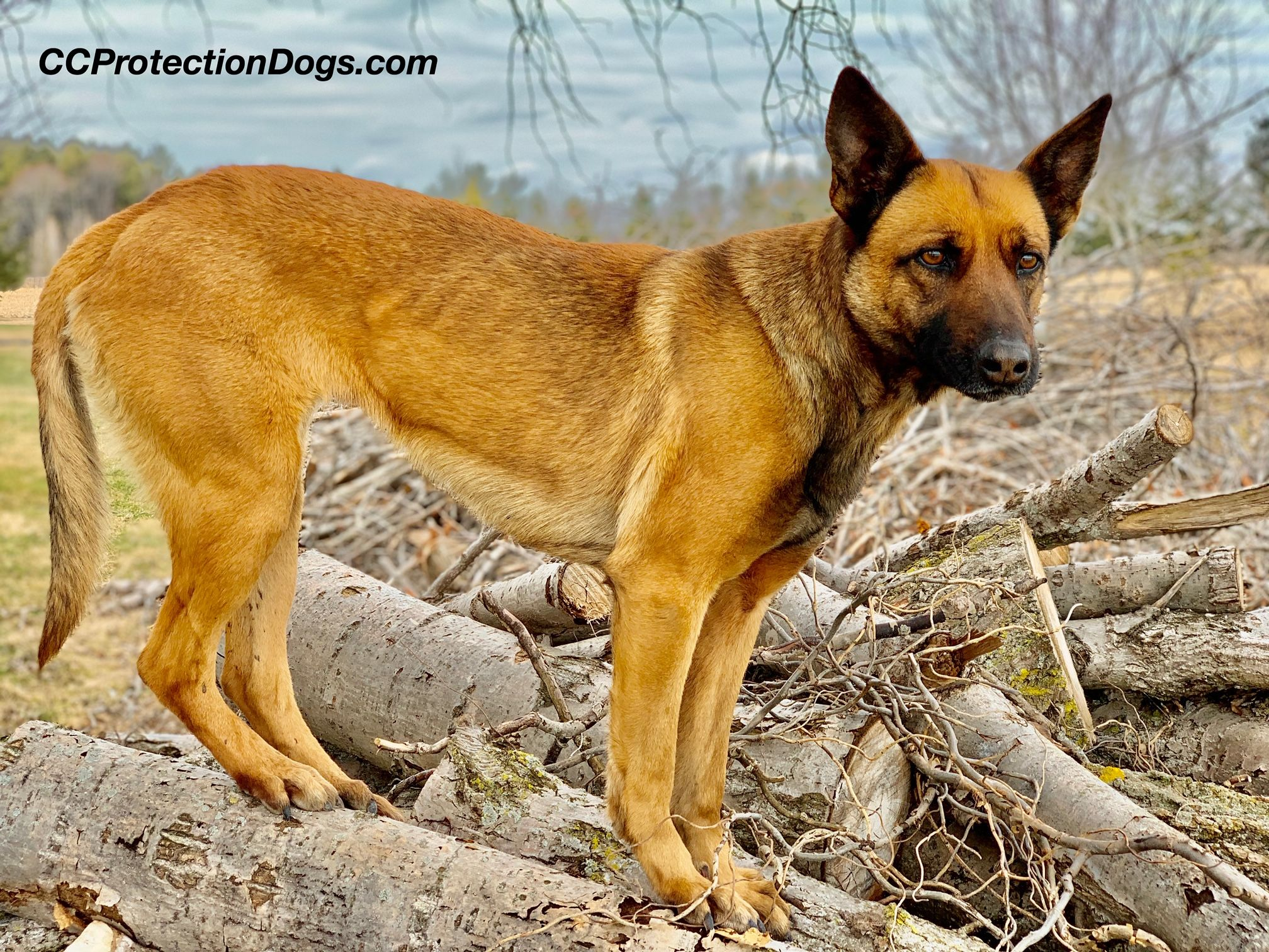 Trained Belgian Malinois for sale. For more information