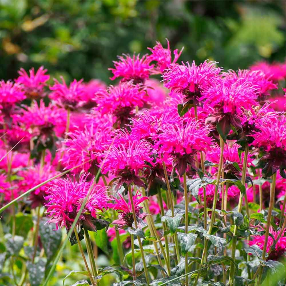 10 Bee Friendly Plants To Have In Your Yard Pinterest Bee Balm