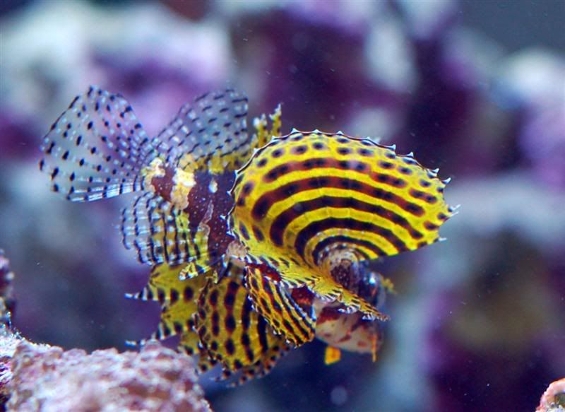 fuzzy dwarf lionfish saltwater fish aquarium saltwater aquarium