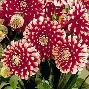 Red decorative type flowers with white tips flowers constantly red decorative type flowers with white tips flowers constantly until frost mightylinksfo