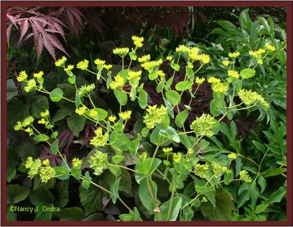 Greenery Bupleurum Good For Bouquet Centerpiece Plants Euphorbia Flower Names