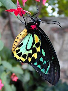 O. priamus, male (one of many species of Birdwing Butterflies) - Photo Copyright Th