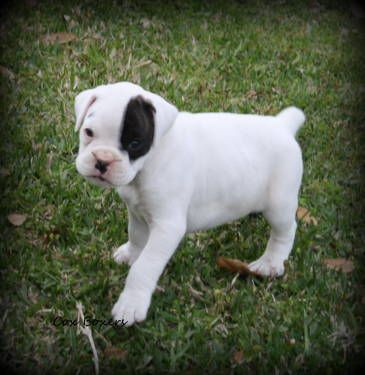 Adorable Akc White Boxer Puppy 8 Weeks Old Dogs And Kids Boxer