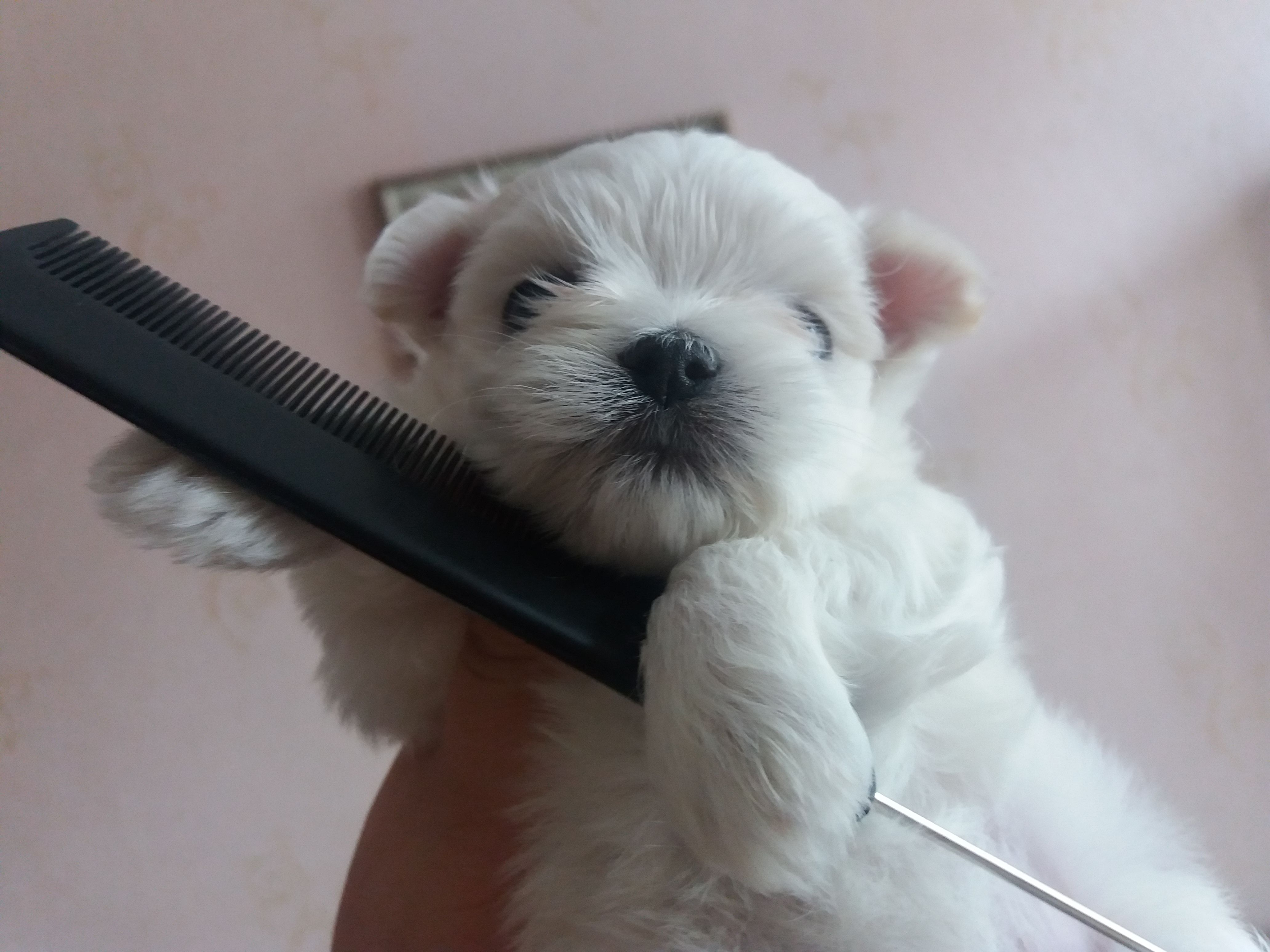 Go To The Hairdresser With A Maltese Puppy