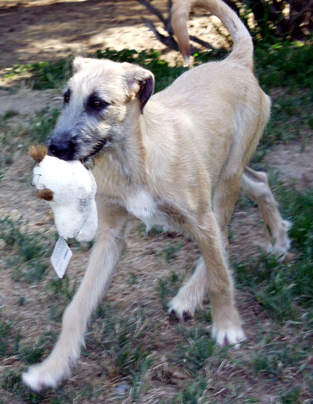 5 Month Old Irish Wolfhound In Gentle Giant Rescue In Ca With