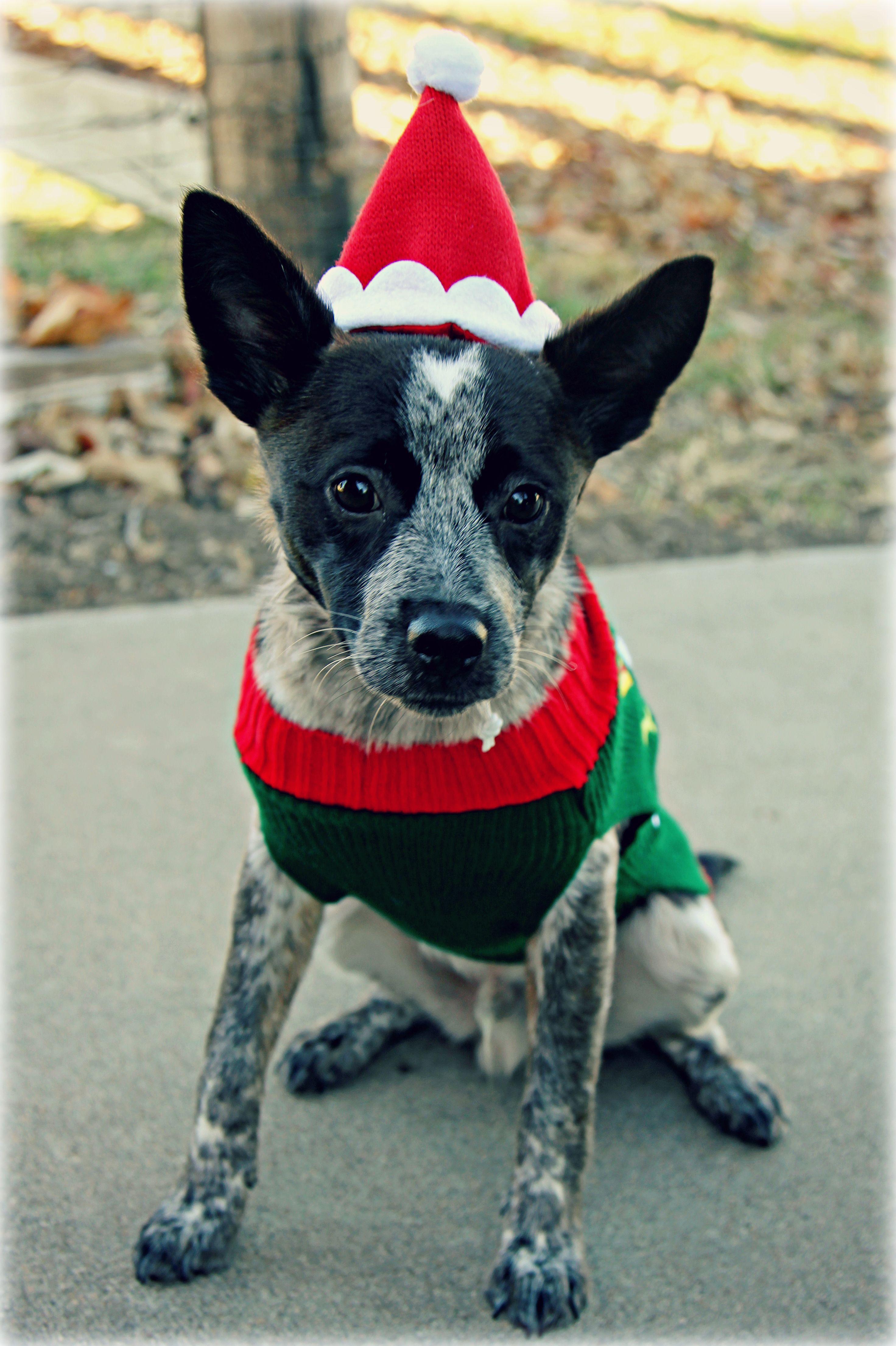 Australian cattle dog queensland blue heeler christmas day