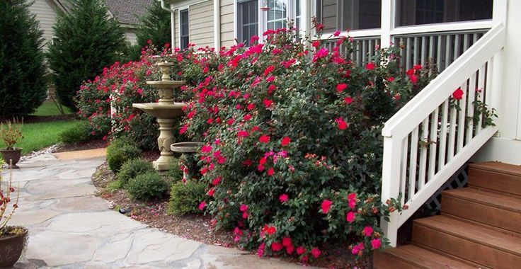 Knockout Roses Garden Designs Knock Out Roses Around The Porch For