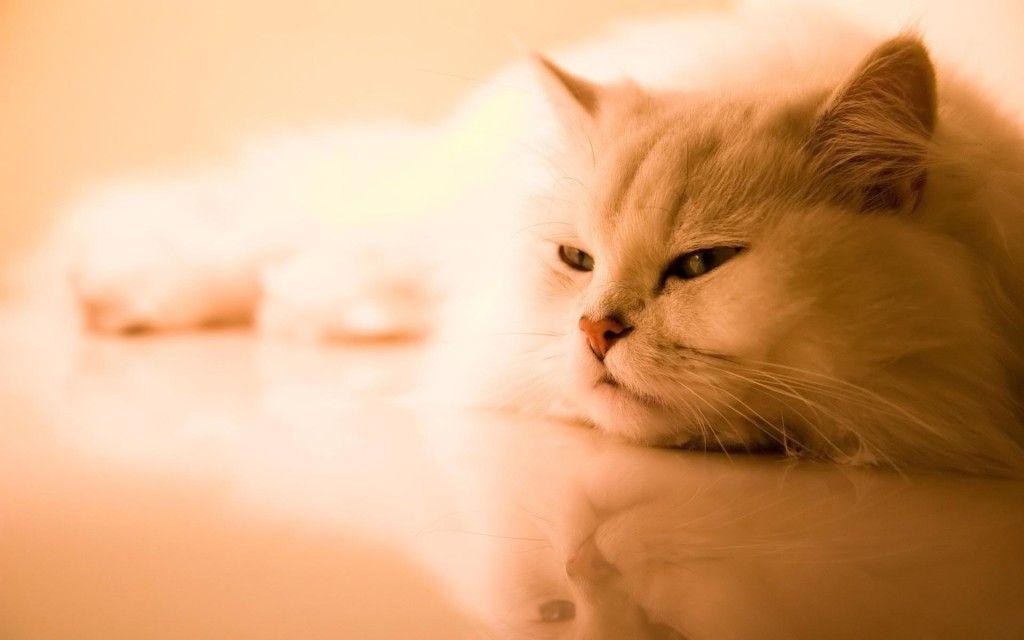 50 HD Cute Cat Wallpapers For Your Desktop