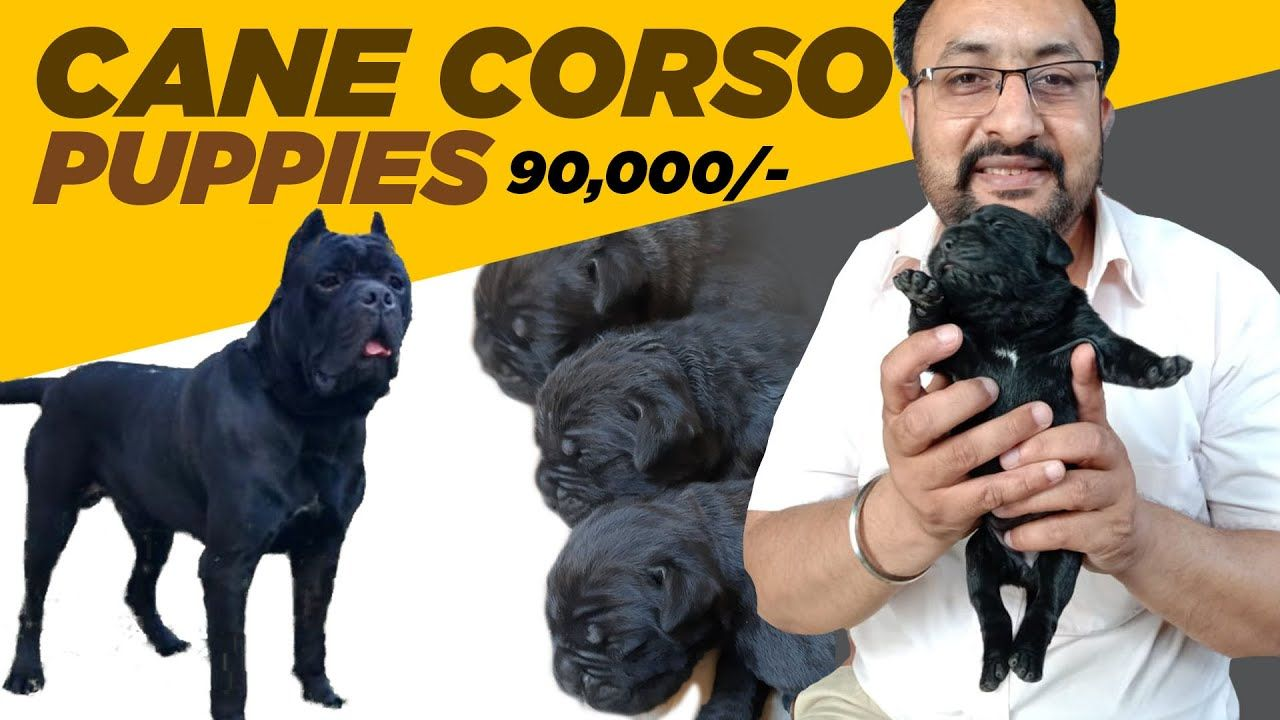 Pin On Buy French Bulldog Dog Breed Puppy In Chandigarh Punjab Call 9780741013 Or 9888341827
