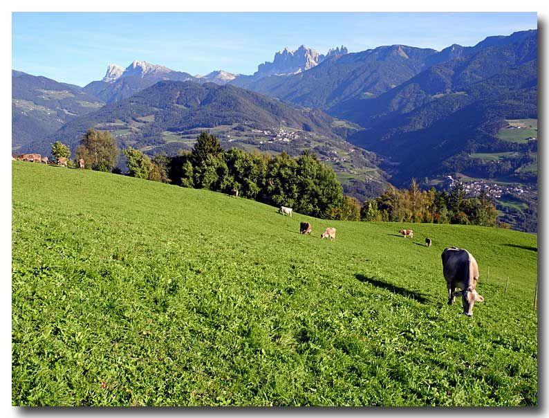 Bolzano Daily Photo: Muhhh...