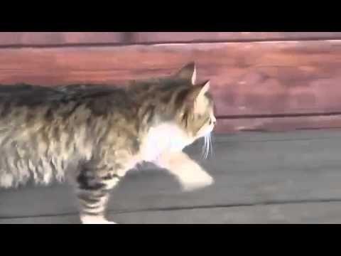 A Cat Walking Funny