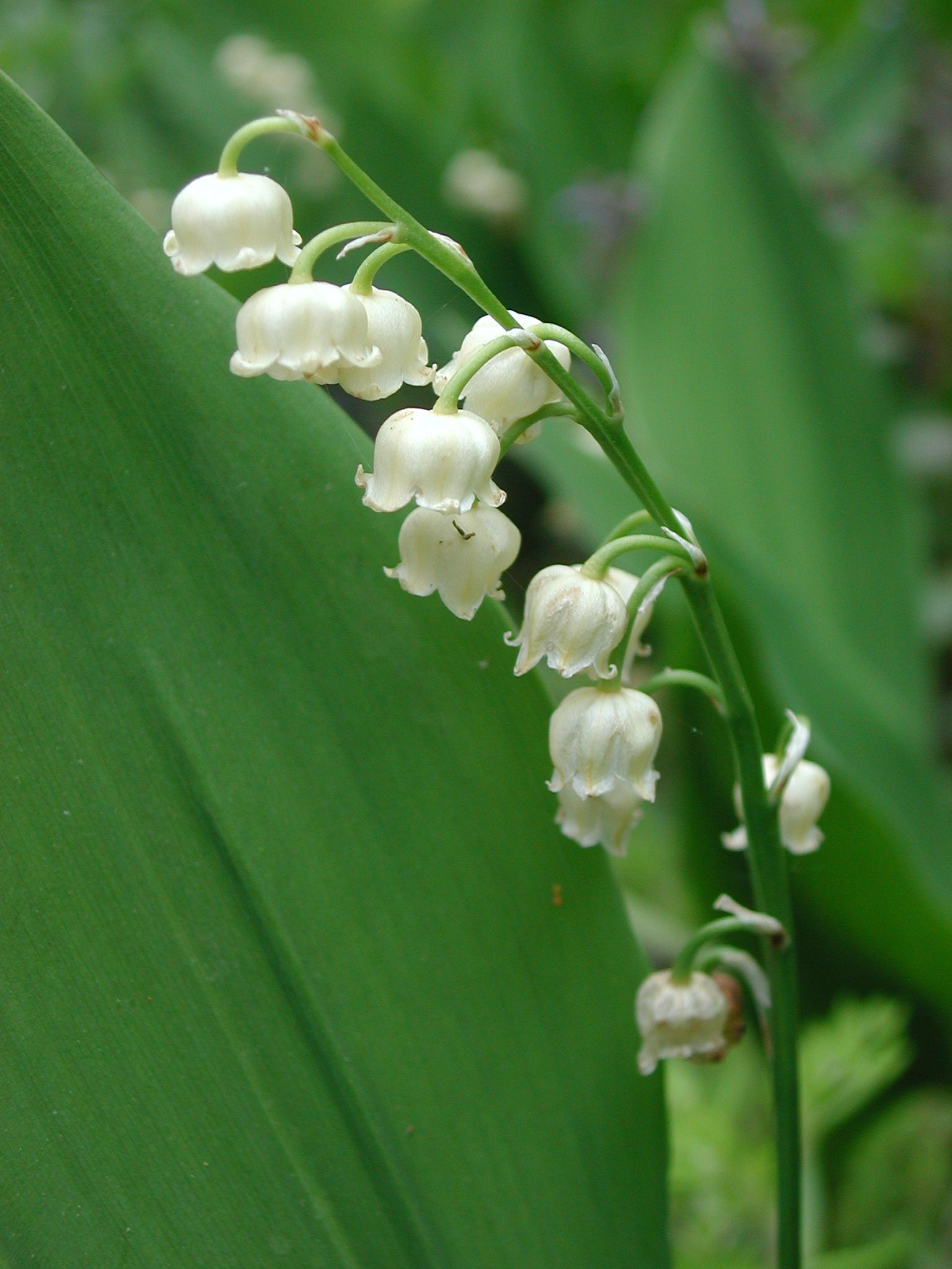 Convallaria Majalis Ruscaceae Image 14499 At Diversityoflife Org Lily Of The Valley Shade Garden Plants