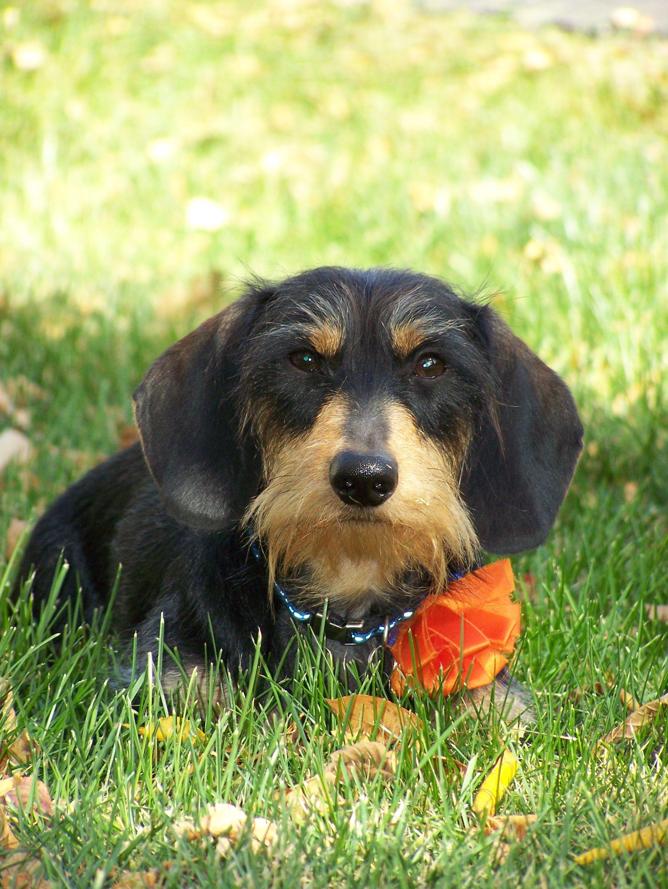 Rudi, my handsome Wirehair Dachshund! Wire haired
