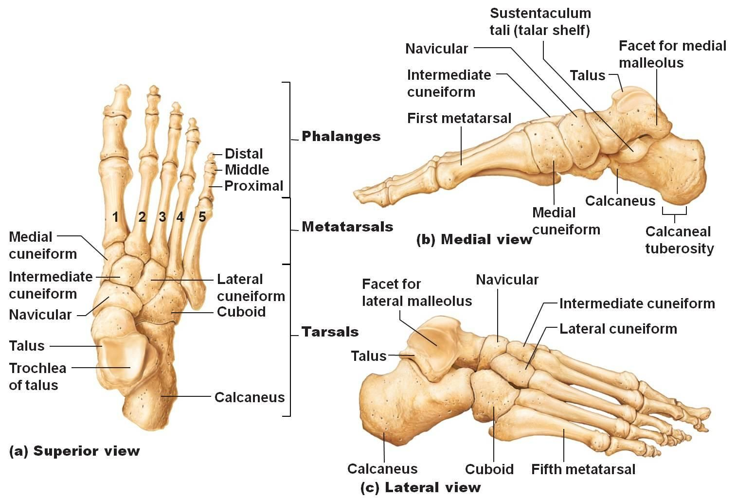 anatomy of foot bones | Anatomy & Physiology 141 > Ganther ...