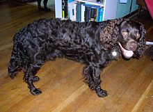 American Water Spaniel A K A American Brown Spaniel American Brown Water Spaniel United States Hunting American Water Spaniel Dog Breeds Spaniel Dog
