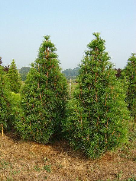 Specimen Evergreens Tdhnurseries Evergreen Trees To Plant Plants