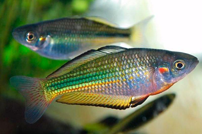 Six Great Fish Types To Keep As Pets Petspot Aquarium Fish Australian Rainbow Fish Fish Tank Plants