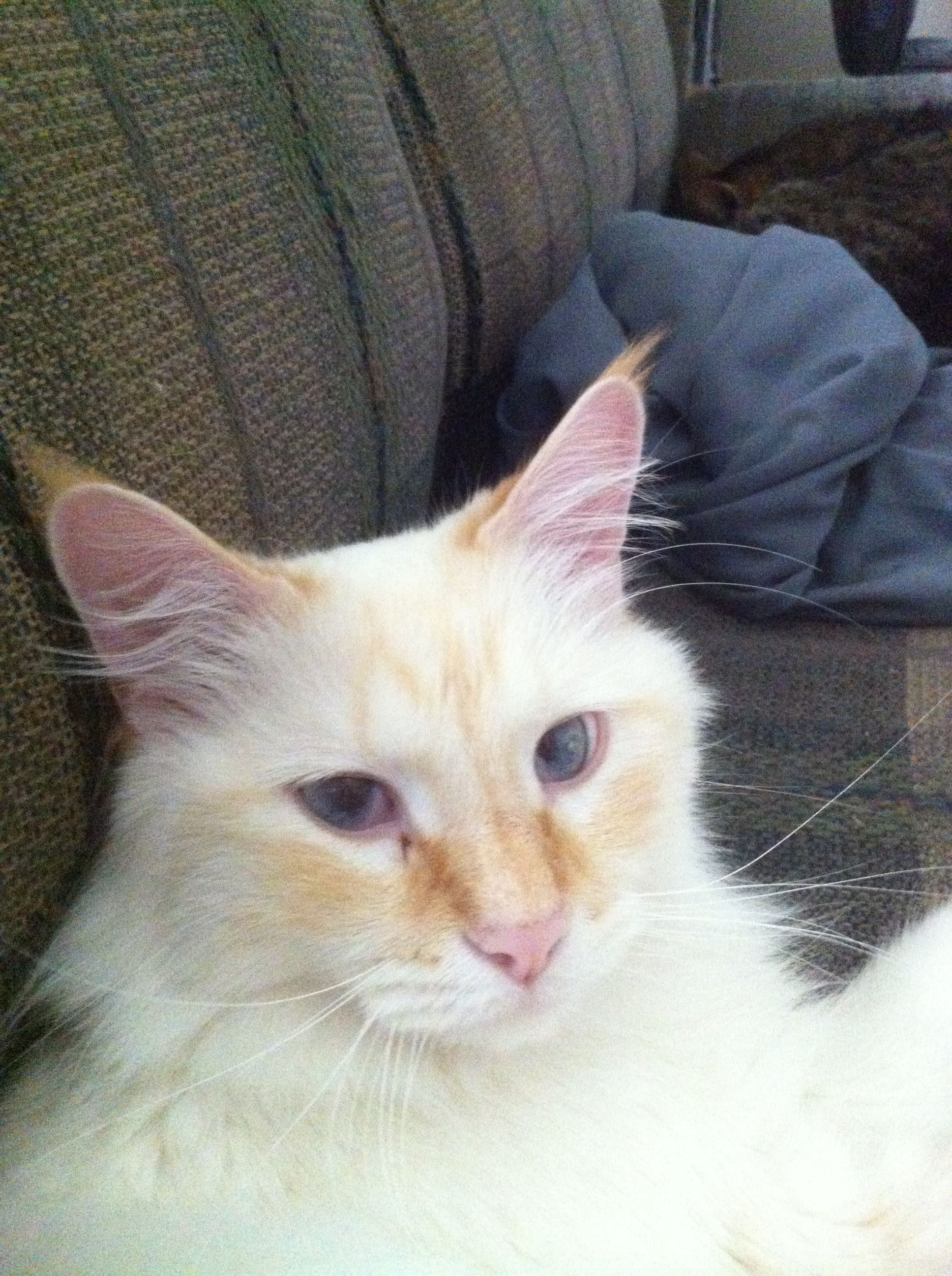 My Flame-Point Siamese Cat Is So Beautiful. I Love Him So