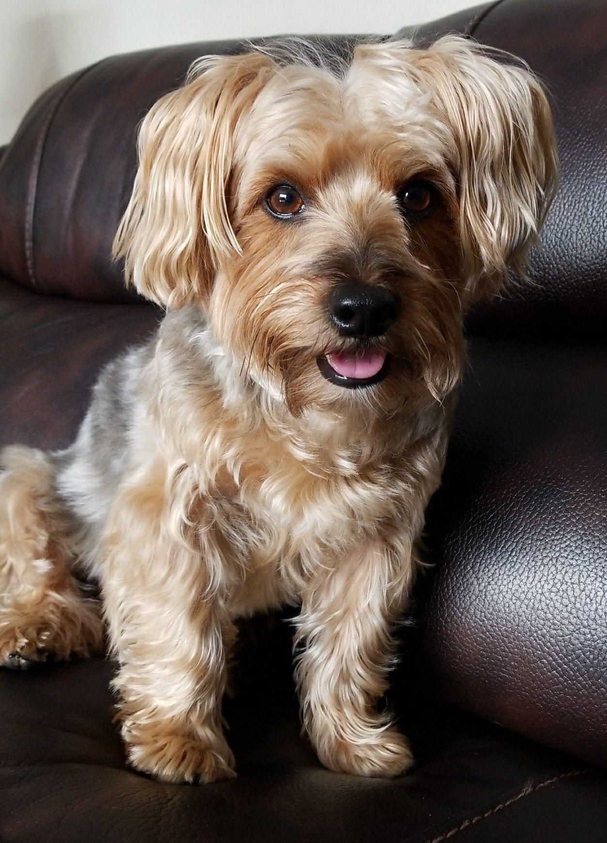 Pin By Carla Albertson On Yorkies Yorkshire Terrier Silky Terrier Yorkie Poo