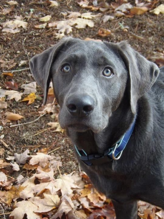 Grayson my charcoal lab grayson savy my charcoal labs for Dog house for labrador retriever