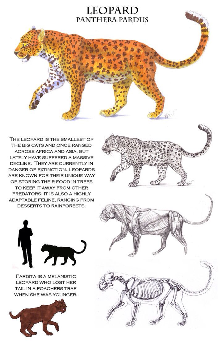 hight resolution of anatomy of a leopard