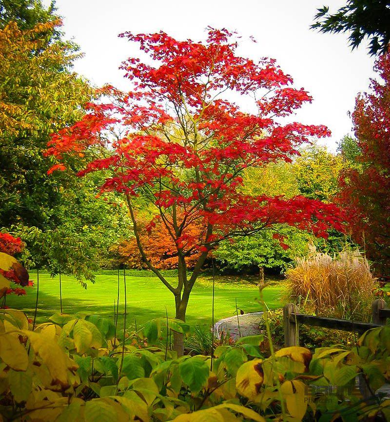 Small Ornamental Trees Oregon: Fernleaf Full-Moon Japanese Maple