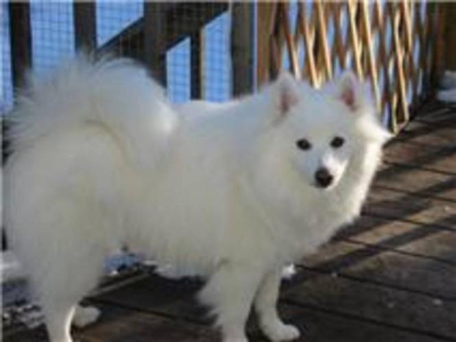 Eskimo Dog Miniature American Eskimo Puppies For Sale In